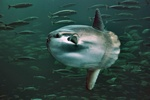 Ocean sunfish  (Mola mola)
